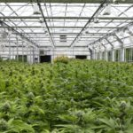 Cannabis Facility Selection